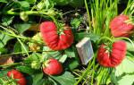 Описание сорта садовой земляники Лорд и важные правила выращивания + фото. Чем отличается от клубники.