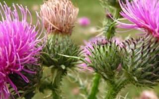 Расторопша пятнистая: выращивание, полезные свойства, рецепты отваров