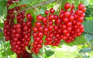 Красная смородина Розита: описание и характеристика сорта, достоинства и недостатки, особенности посадки и ухода + фото