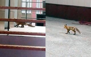 Лиса сбежала из зоопарка и оказалась в детском саду