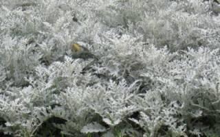 Цинерария серебряная пыль: выращивание из семян, посадка в открытый грунт, правильный уход
