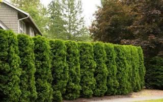 Как посадить живую изгородь на садовом участке: особенности выбора и посадки