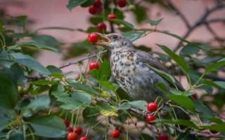 Как защитить ягоды от птиц: эффективные способы