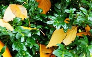 Самшит: посадка, уход, размножение, зимовка, использование в озеленении