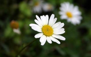 Нивяник, ромашка садовая или поповник – секреты успешного выращивания