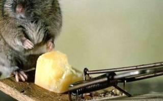 Как избавиться от мышей на даче: способы