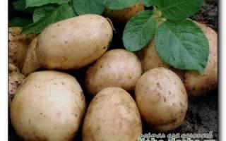 Как собрать в сезон два урожая картофеля: рекомендуемые сорта, когда сажать, как ухаживать