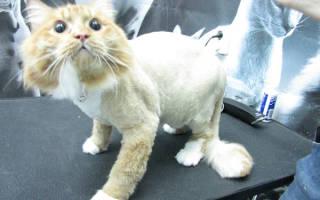 Китайская кошка любит когда её стригут