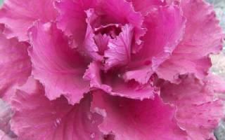 Декоративная капуста: посадка, выращивание и уход (в тч из семян и рассады) + фото
