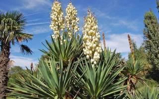 Юкка садовая — посадка и уход с фото, размножение и идеи в ландшафтном дизайне
