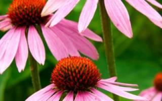 Выращивание эхинацеи (в тч из семян) и уход за разными сортами + фото и видео