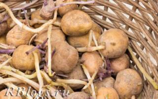 Выращивание картофеля: как собрать большой урожай, посадка и уход