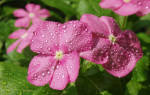 Бальзамин — выращивание из семян в домашних условиях: когда сажать и каким способом, популярные сорта растения