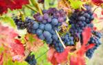 Виноград в холодном климате: выбор морозостойких сортов, посадка и уход, подготовка к зиме