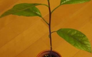 Выращивание авокадо: посадка и правильный уход