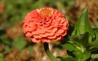 Циния — выращивание из семян: когда сажать, лучшие способы посадки, популярные сорта цветка