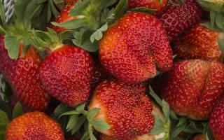 Садовая земляника Виктория — особенности сорта и важные нюансы выращивания + фото