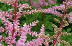 Астильбы в дизайне сада: фото и особенности формирования цветников