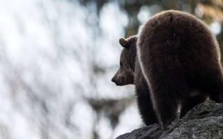 Медведь разрыл могилу и утащил покойника