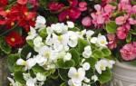 Выращивание бегонии: посадка и правильный уход в период цветения, до и после цветения, подкормка минеральными удобрениями