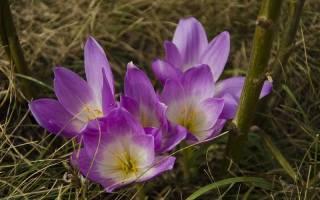 Безвременник или колхитум: сорта, выращивание, советы по уходу