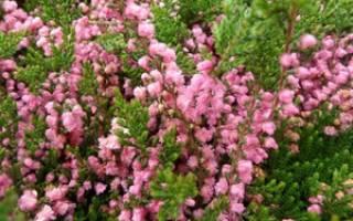 Вереск: особенности посадки и ухода, способы размножения, популярные сорта с фото