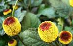 Спилантес: огородный анестетик, выращивание из семян, уход