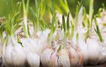 Как вырастить большой урожай овощей, выращивание чеснока, лука, моркови, зелени и др