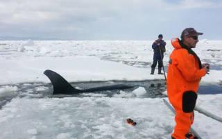 В Аргентине касаток вернули в воду с помощью спасателей