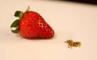 Как выращивать безусую землянику, правильный уход