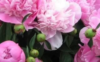 Чем подкормить пионы — подкормка цветов до, после и во время цветения