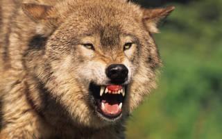 В Канаде волк напал на людей в палатке