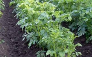 Высокая ботва у картофеля: хорошо это или плохо, что делать