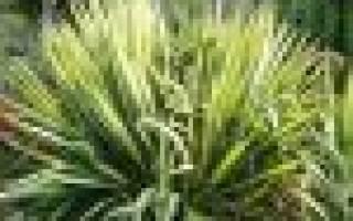 Юкка садовая: уход за растением и правила пересадки
