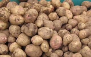 Выращивание картофеля: как получить большой урожай, советы по уходу