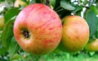 Описание сорта яблони Медуница — особенности, правила посадки и ухода, сбор урожая + фото