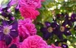 Клумбы с розами: с чем сочетаются, как оформить, схемы, фото