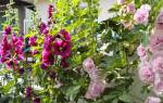 Шток-роза — выращивание из семян: когда сажать, выбор способа посадки, лучшие сорта цветка