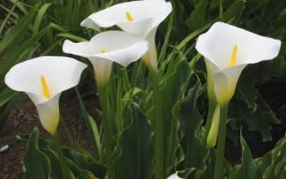 Калла: клубневые и корневищные разновидности, особенности выращивания и ухода, применение в садовом дизайне
