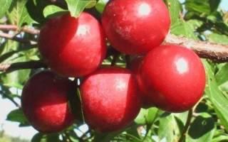 Слива Красный шар: описание и характеристика сорта, достоинства и недостатки, особенности посадки и ухода + фото и отзывы