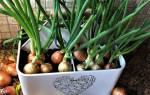 Как вырастить зелёный лук зимой, выращиваем зелёный лук на подоконнике