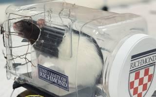Крысы научились водить игрушечную машину