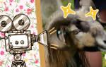 Баран напал на видеооператора BBC