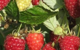 Как вырастить виноград в северных регионах