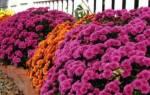 Растения, цветущие до глубокой осени: описания и фото