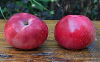 Описание и фото сорта яблони Раннее алое + видео