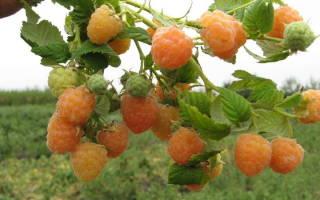 Садовая малина: посадка и уход за кустами + видео