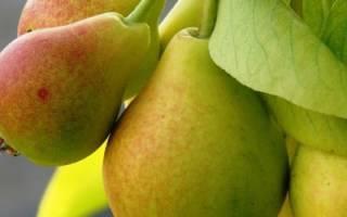 Груша Краснобокая: описание и характеристика сорта, достоинства и недостатки, особенности посадки и ухода + фото и отзывы