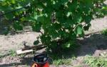 Обработка винограда осенью от болезней и вредителей – гид