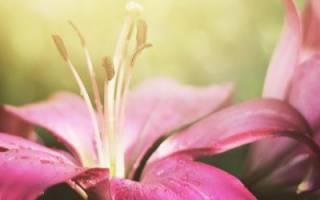 Лилии – очарование нежности!